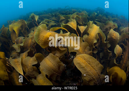 Forest of sugar kelp (Saccharina latissima) growing in shallow water in north east Iceland. North Atlantic Ocean. - Stock Photo