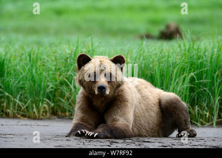 Young female Grizzly bear (Ursus arctos horribilis) resting on the inlet bank at low tide, Khutzeymateen Grizzly Bear Sanctuary, British Columbia, Canada, June. - Stock Photo