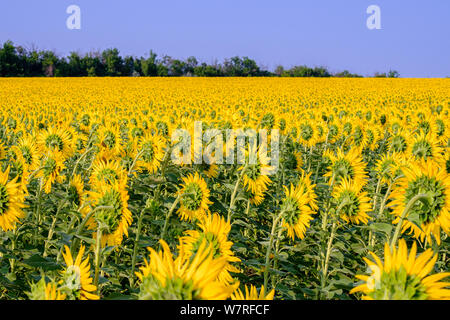 A huge field with sunflowers turned away from the setting sun against a cloudless blue sky - Stock Photo