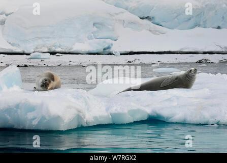 Crabeater seals (Lobodon carcinophaga) on ice floe, Antarctic Peninsula, Antarctica - Stock Photo