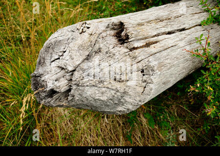 Fallen tree cut by a North American beaver (Castor canadensis) an invasive species (introduced for fur trade) Tierra del Fuego, Argentina - Stock Photo