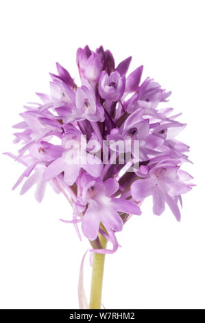 Pyramidal Orchid (Anacamptis pyramidalis) an orchid species widespread on limestone throughout Europe. Sibillini, Umbria Italy, June. Meetyourneighbours.net project - Stock Photo