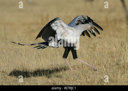 Secretary bird (Sagittarius serpentarius) landing, Masai-Mara Game Reserve, Kenya - Stock Photo