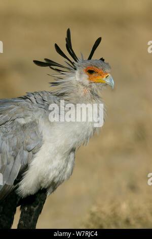 Secretary bird (Sagittarius serpentarius) portrait, Masai-Mara Game Reserve, Kenya - Stock Photo