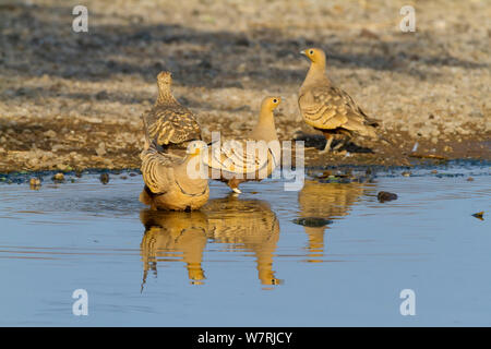 Yellow-throated sandgrouse (Pterocles gutturalis) drinking, Lake Magadi, Kenya - Stock Photo