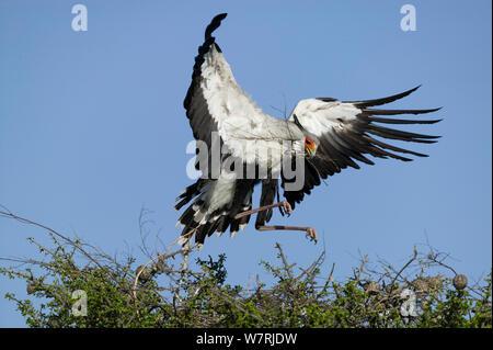 Secretary bird (Sagittarius serpentarius) building nest, Masai-Mara Game Reserve, Kenya - Stock Photo