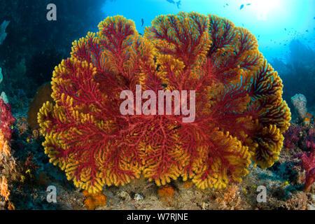 Gorgonian sea fan (Acalycigorgia sp.) Raja Ampat, Irian Jaya, West Papua, Indonesia, Pacific Ocean - Stock Photo
