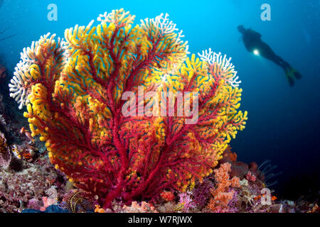Scuba diver and gorgonian sea fan (Acalycigorgia sp.) Fiabajet delight, Fiabajet Island, Raja Ampat, Irian Jaya, West Papua, Indonesia, Pacific Ocean - Stock Photo