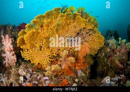 Gorgonian sea fan (Acalycigorgia sp.) Fiabajet delight, Fiabajet Island, Raja Ampat, Irian Jaya, West Papua, Indonesia, Pacific Ocean - Stock Photo