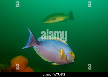 Yellowfin surgeonfish (Acanthurus xanthopterus) with Leopard grouper (Mycteroperca rosacea) in the background, Cabo Pulmo National Park, Sea of Cortez (Gulf of California), Mexico, July - Stock Photo