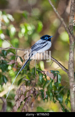 Madagascar Paradise-Flycatcher (Terpsiphone mutata mutata) male, white morph, Tsingy de Bemaraha National Park, East Madagascar - Stock Photo