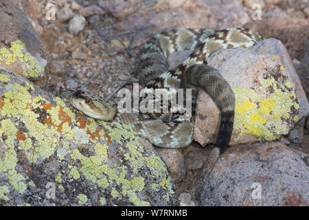 Northern Black-Tailed Rattlesnake (Crotalus molossus molossus) Sonoran Desert, Mesa, Arizona, USA. - Stock Photo