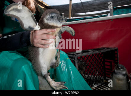 African penguin (Spheniscus demersus) chick after feeding, during rehabilitation at Southern African Foundation for the Conservation of Coastal Birds (SANCCOB) Cape Town, South Africa. December 2010 - Stock Photo
