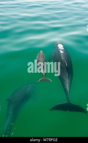 Bottlenose Dolphin (Tursiops truncatus) family swimming near the surface, Sado Estuary, Portugal - Stock Photo