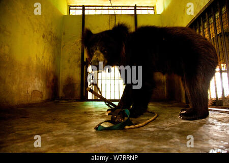 Captive Sloth bear (Melursus ursinus) at the Wildlife SOS Rehabilitation Centre, Bannerghatta National Park, Karnataka, India, 2009. - Stock Photo