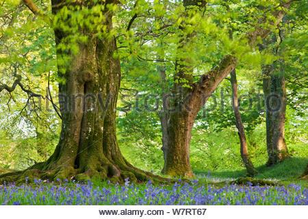Beech (Fagus sylvatica) and Oak (Quercus) trees above a carpet of bluebells (Hyacinthoides non-scripta) carpet beneath mature Oak tree, Blackbury Camp, Devon, England. May 2013.in a woodland, Blackbury Camp, Devon, England. May 2012. - Stock Photo