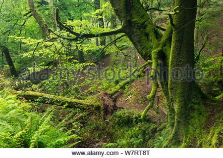 Summer green foliage in Buck's Valley Woods, Buck's Mills, Devon, England. August 2012. - Stock Photo