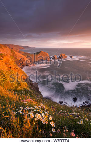 Wildflowers including Ox eye daisies (Leucanthemum vulgare) and Thrift (Armeria maritima) growing on the cliff tops above Hartland Point, looking south to Screda Point, Devon, England. May 2013. - Stock Photo