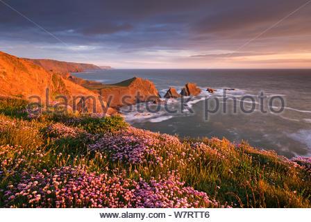 Flowering thrift (Armeria maritima) on the clifftops above Hartland Quay, North Devon, England. May 2013. - Stock Photo