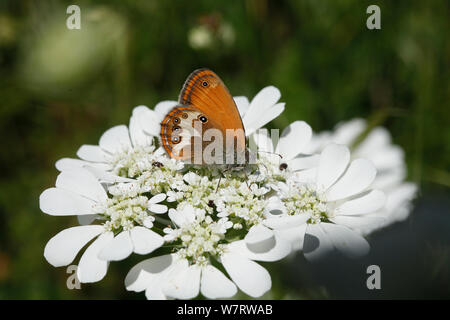 Pearly Heath Butterfly (Coenonympha arcania) feeding on nectar, on white flower, with Carpet beetles (Anthrenus verbasci) feeding on pollen, Croatia - Stock Photo