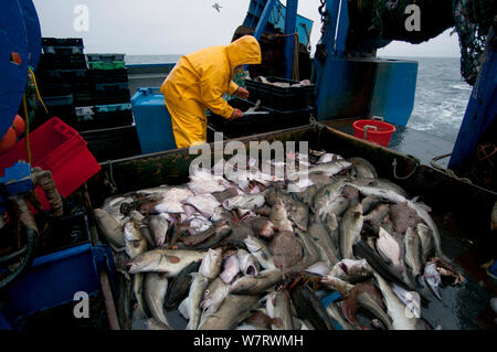 Fisherman sorts catch of Atlantic Cod (Gadus morhua) and Little Skate (Leucoraja erinacea) on deck of fishing trawler. Stellwagen Banks, New England, United States, North Atlantic Ocean Model released. - Stock Photo
