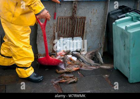 Fisherman shoveling bycatch of American lobster (Homarus americanus), Atlantic Cod (Gadus morhua) and Little Skate (Leucoraja erinacea) overboard. Stellwagen Banks, New England, United States, North Atlantic Ocean Model released. - Stock Photo