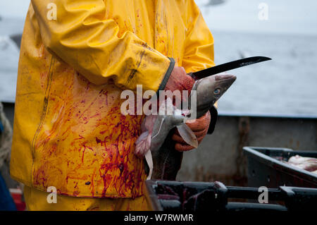 Fisherman cleans Atlantic Cod (Gadus morhua) on deck of fishing trawler. Stellwagen Banks, New England, United States, North Atlantic Ocean Model released. - Stock Photo