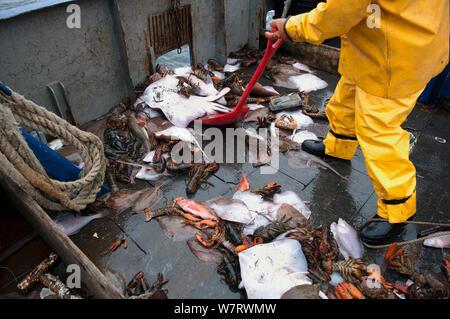 Fisherman shoveling bycatch of Little Skate (Leucoraja erinacea), American lobster (Homarus americanus) and Yellowtail Flounder (Limanda ferruginea) overboard. Stellwagen Banks, New England, United States, North Atlantic Ocean - Stock Photo