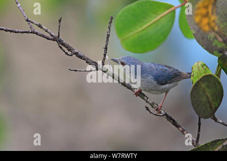 Bicoloured Conebill (Conirostrum bicolor bicolor) on twig,Trinidad, Trinidad and Tobago, April - Stock Photo