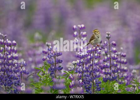 Savannah sparrow (Passerculus sandwichensis) in field of Nootka lupin (Lupinus nootkatensis) Alaska, USA, July. - Stock Photo