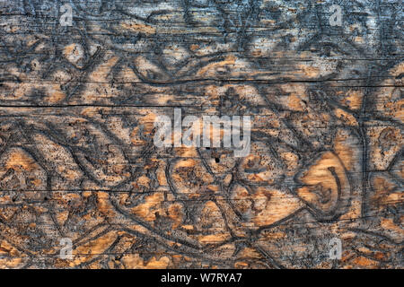 Bark beetle (Scolytinae) 'galleries' or tracks in the wood of dead spruce tree, Yellowstone National Park, USA. - Stock Photo