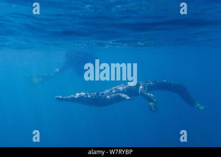 American crocodile (Crocodylus acutus) swimming in open ocean, Pacific Coast, Ostional, Costa Rica. - Stock Photo