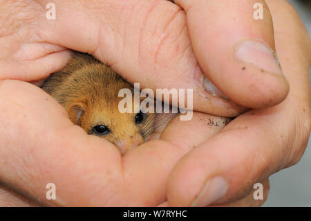 Adult Common / Hazel dormouse (Muscardinus avellanarius), held gently in human hands during a survey in coppiced woodland near Bristol, Somerset, UK, October. Model released. Non-ex. - Stock Photo