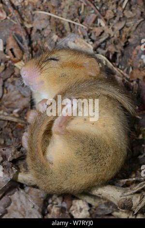 Torpid Common / Hazel dormouse (Muscardinus avellanarius) found sleeping in a Dormouse nestbox set out by Backwell Enviroment Trust in coppiced woodland near Bristol, Somerset, UK, June. - Stock Photo