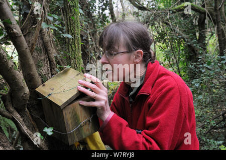 Mammalogist Gill Brown of Backwell Enviroment Trust finding a Common / Hazel dormouse (Muscardinus avellanarius) in a nest box in coppiced woodland near Bristol, Somerset, UK, October. Model released. - Stock Photo