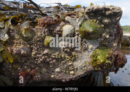 Common limpets (Patella vulgata) and Acorn barnacles (Balanus perforatus) attached to rocks exposed at low tide, Lyme Regis, Dorset, UK, April.
