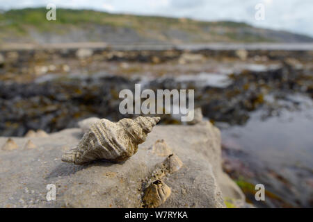 European oyster drill / Sting winkle (Ocenebra erinacea) a pest of oyster beds, on rocks low on the shore alongside Acorn barnacles (Balanus perforatus) exposed at low tide, with seaweed, rock pools and the sea in the background, Lyme Regis, Dorset, UK, May. - Stock Photo