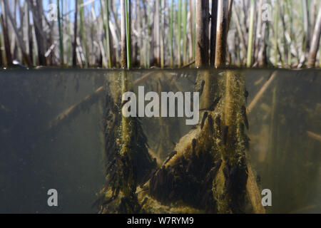 Split level view of recently hatched Common frog tadpoles (Rana temporaria) feeding on algae attached to reed stems in a freshwater pond, Wiltshire, UK, May. - Stock Photo
