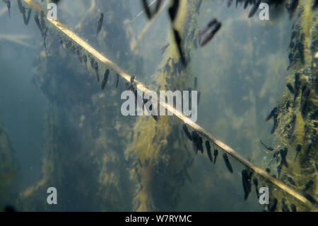 Recently hatched Common frog tadpoles (Rana temporaria) feeding on algae attached to reed stems in a freshwater pond, Wiltshire, UK, May. - Stock Photo