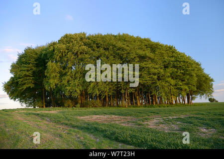 Clump of beech trees (Fagus sylvatica) and arable field on the Ridgeway, ancient track and long distance pathway, in sunset light, Marlborough Downs, Wiltshire, UK, May.