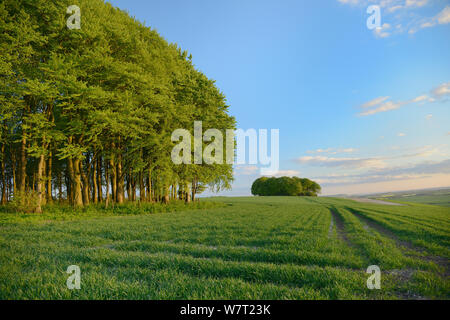 Clumps of beech trees (Fagus sylvatica) and arable field on the Ridgeway ancient track and long distance pathway, Marlborough Downs, Wiltshire, UK, May.