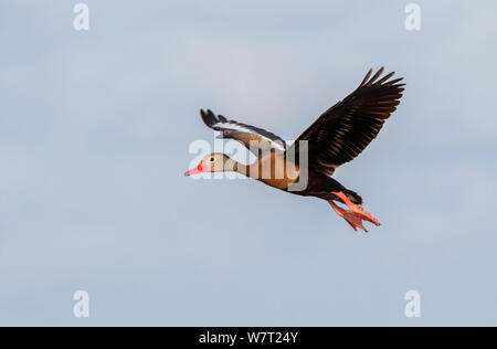 Black-bellied whistling tree duck (Dendrocygna autumnalis) flying in blue sky, Brazos Bend State Park, Texas, USA - Stock Photo
