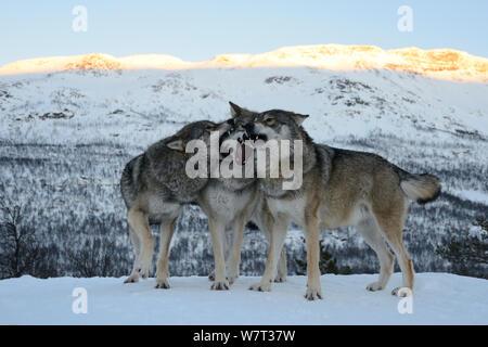 Three European grey wolves (Canis lupus) interacting, captive, Norway, February. - Stock Photo