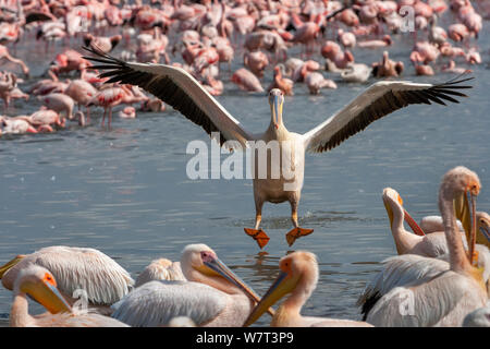 Great White Pelican (Pelecanus onocrotalus) landing to join his companions with flamingo on background, Lake Nakuru, Kenya. - Stock Photo