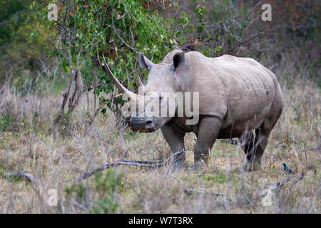 White or square-lipped rhinoceros (Ceratotherium simum) male, grazing in savanna, Lake Nakuru, Kenya - Stock Photo