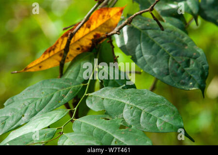 Babango (Diospyros bipindensis or Diospyros iturensis) tree  leaves, food plant for many primates including Gorillas and Chimpanzees, Bai Hokou, Dzanga-Ndoki National Park, Central African Republic. - Stock Photo