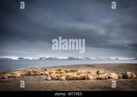Walrus (Odobenus rosmanus) colony hauled out on a beach, Poolpynten, Svalbard, Norway, June, 2012. - Stock Photo