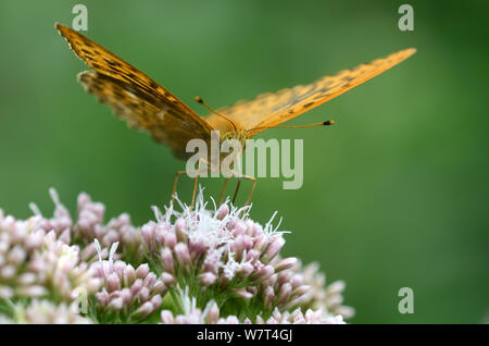 Male silver-washed fritillary butterfly (Argynnis paphia) taking nectar from hemp agrimony flower, Dorset, UK. August - Stock Photo