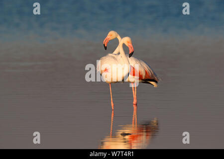 Greater flamingoes (Phoenicopterus ruber), Etosha National Park, Namibia, May - Stock Photo