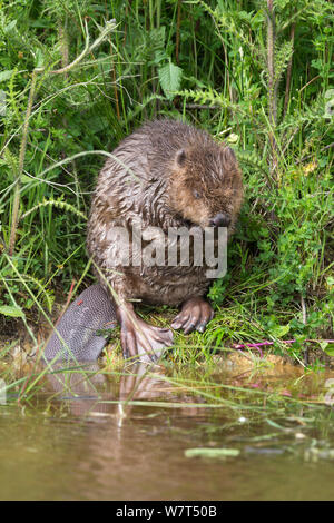 Eurasian beaver (Castor fiber), grooming, captive in breeding programme, UK, June - Stock Photo